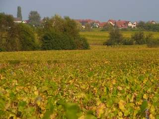 Vineyard Obernai