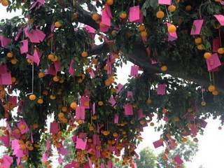 Banyan tree and oranges